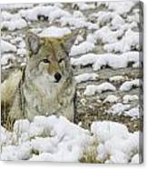 Yellowstone Coyote Canvas Print