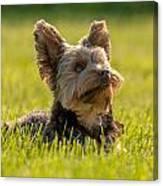 Yorkshire Terrier Canvas Print
