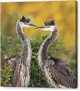 Young Herons Canvas Print