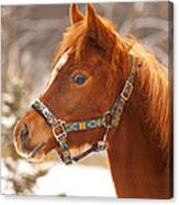 Young Horse In Winter Day Canvas Print