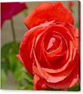 Young Red Rose After Rain Canvas Print