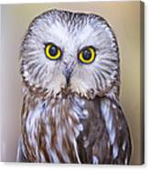 Young Saw-whet Owl Canvas Print