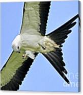 Young Swallow-tailed Kite Canvas Print