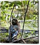 Young Wood Duck Canvas Print