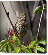 Fox Sparrow Canvas Print