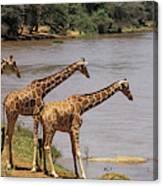 Girafe Reticulee Giraffa Camelopardalis Canvas Print
