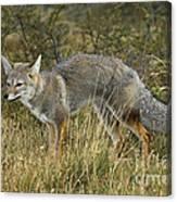 Patagonia Grey Fox Canvas Print