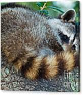 Raccoon Canvas Print