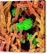 Streptomyces Coelicoflavus Bacteria Canvas Print