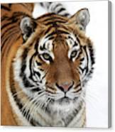 Tigre De Siberie Panthera Tigris Altaica Canvas Print