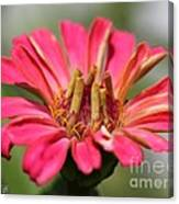 Zinnia From The Whirlygig Mix Canvas Print