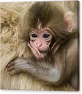 Baby Snow Monkey, Japan Canvas Print