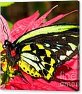 Cairns Birdwing Butterfly Canvas Print