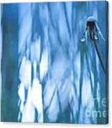 Dandelion Close-up View Backlit Canvas Print