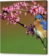 Eastern Bluebird (sialia Sialis Canvas Print
