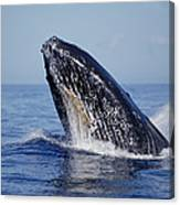 Humpback Whale Breaching Maui Hawaii Canvas Print
