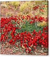 Sturt's Desert Pea Outback South Australia Canvas Print