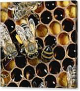 Honey Bees On Honeycomb Canvas Print