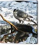1145p Northern Goshawk Canvas Print