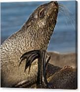 Antarctic Fur Seal Canvas Print