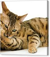 Bengal Brown Spotted Tabby Canvas Print