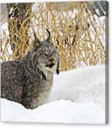 Canadian Lynx Canvas Print