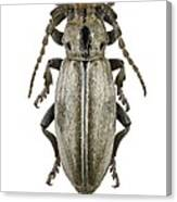 Longhorn Beetle Canvas Print