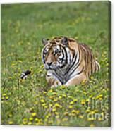Siberian Tiger, China Canvas Print
