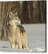 Wolf In Winter Canvas Print