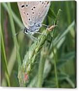 13 Balkan Copper Butterfly Canvas Print