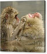 Snow Monkeys Canvas Print