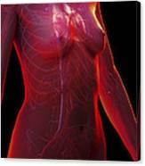 The Cardiovascular System Female Canvas Print