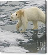 Polar Bear Walking On Ice Canvas Print