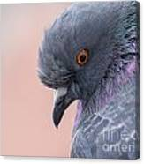 Rock Dove Canvas Print