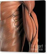 The Muscle System Canvas Print