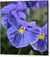 Viola Tricolor Heartsease Canvas Print