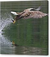 White-tailed Sea Eagle In Norway Canvas Print