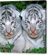 Tigre Blanc Panthera Tigris Canvas Print