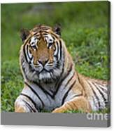 Siberian Tiger, China Canvas Print