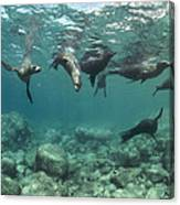 Playful Sealions In Baja Canvas Print
