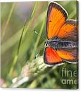 17 Balkan Copper Butterfly Canvas Print