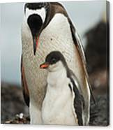 Gentoo Penguin With Young Canvas Print