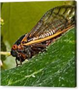 17 Year Cicada 3 Canvas Print