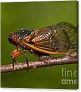 17-year Periodical Cicada I Canvas Print