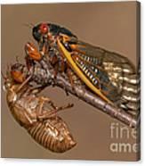 17-year Periodical Cicada II Canvas Print