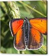 18 Balkan Copper Butterfly Canvas Print