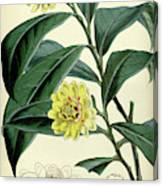 Botanical Print By Walter Hood Fitch 1817 – 1892 Canvas Print