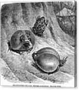 1892 Art Print Animal African Mozambique Rain Flat-face Frog Canvas Print