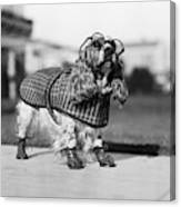 1930s Cocker Spaniel Wearing Glasses Canvas Print