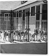 1930s Kennel Yard Full Of Foxhound Dogs Canvas Print